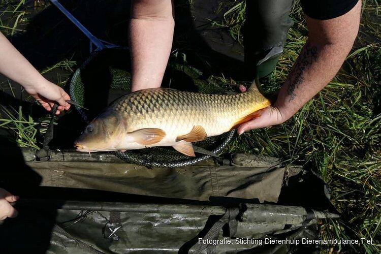 Vrijwilligers dierenambulance redden karpers uit drooggevallen plas